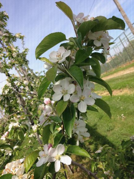 Branche de pommier en pleine floraison