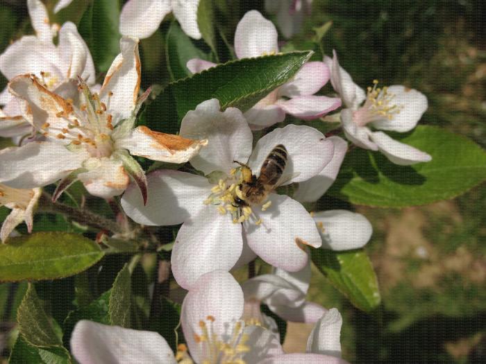 Pollinisation d'une fleur de pommier par une abeille