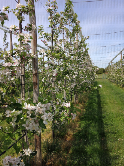 Pommiers conduits en mur fruitier au stade pleine floraison