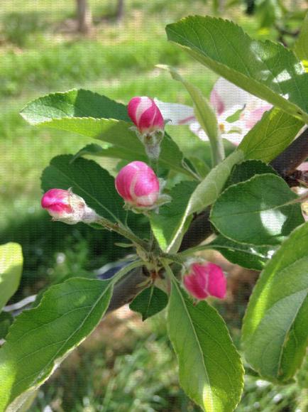 Corymbe de pommier au stade boutons roses