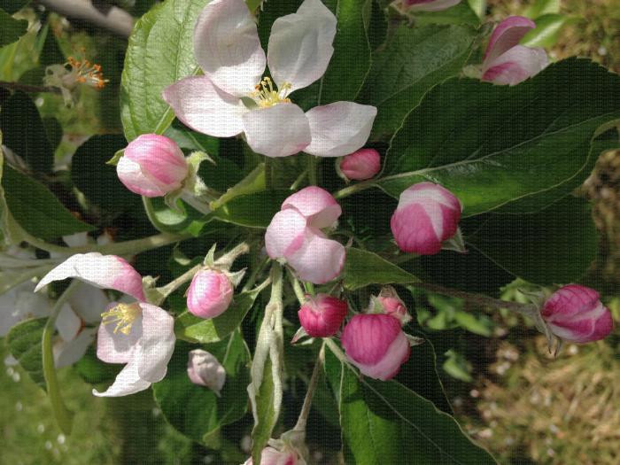 Corymbes de pommier à différents stades de floraison