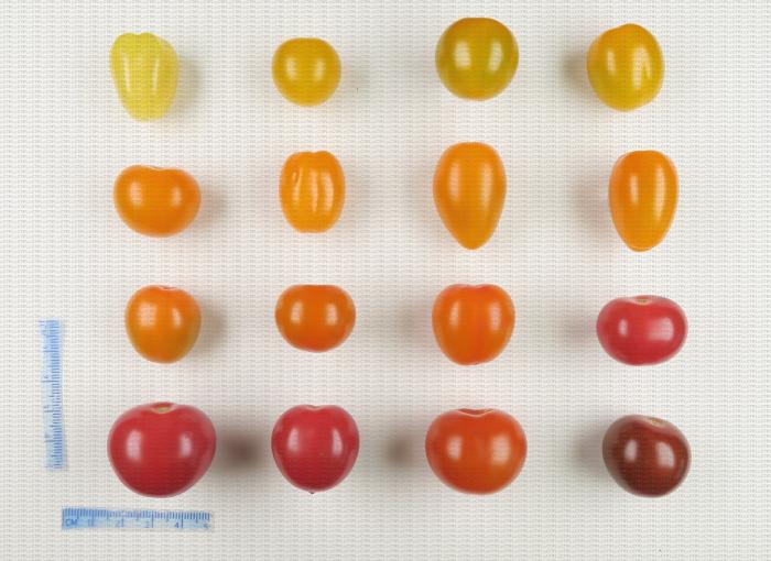 Tomates cerise de différentes couleurs