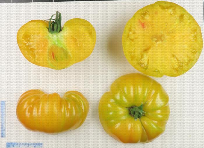 Variété de tomate de type ancien côtelé jaune