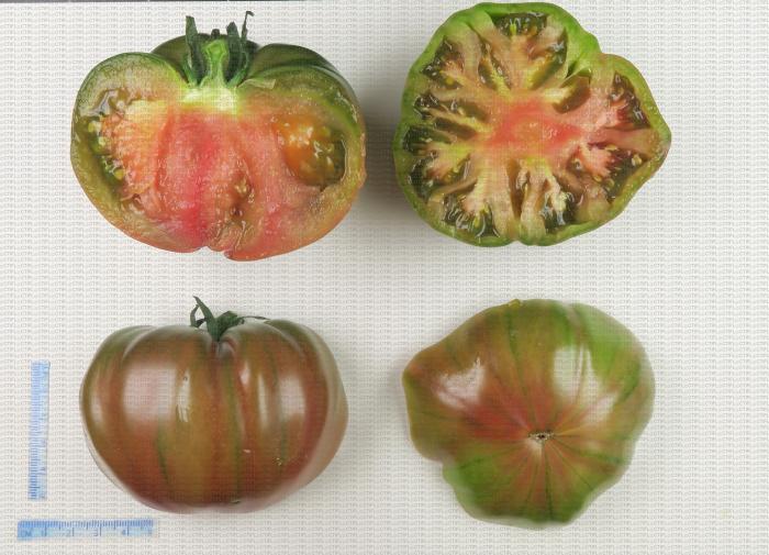 Variété de tomate de type ancien côtelé et bicolore (vert rouge)
