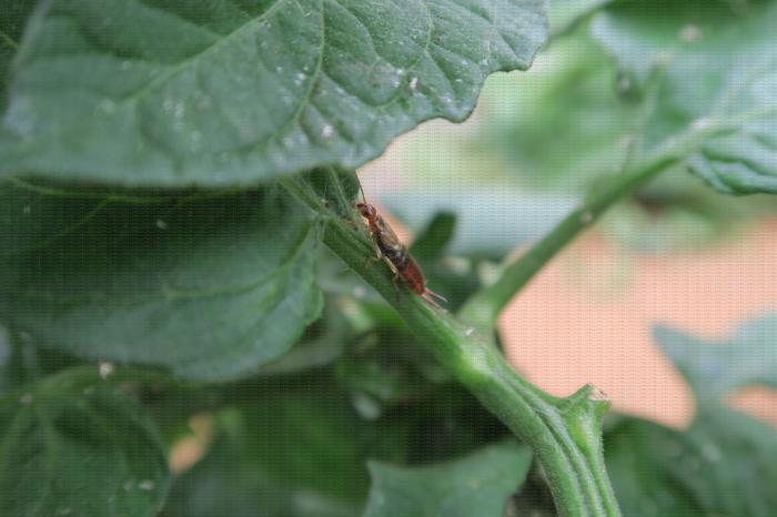 Forficule sur pied de tomate