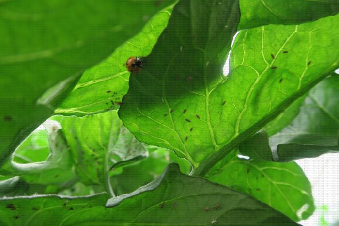 Coccinelle et pucerons sous des feuilles de tomate