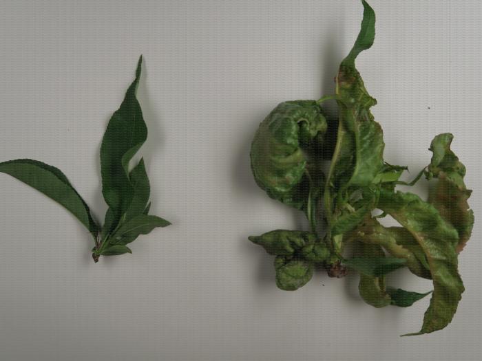 Comparaison de feuilles de pêcher saines (gauche) et atteintes de la cloque (droite)