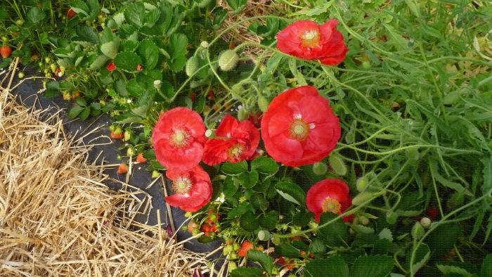 Culture de fraises en sol sous tunnel avec bandes florales, Lanxade (24) : coquelicots couchés