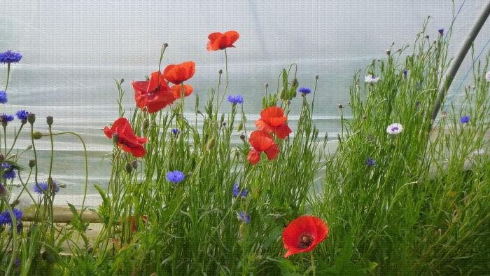 Bande florale (bleuets, coquelicots) en culture de fraises en sol sous tunnel, Lanxade (24)
