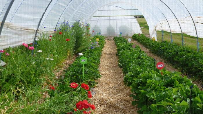 Culture de fraises en sol sous tunnel avec bandes florales, Lanxade (24)