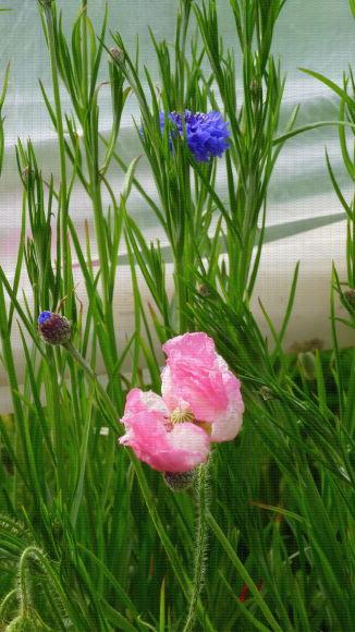 Bande florale (bleuet et pavot) en culture de fraises en sol sous tunnel, Lanxade (24)