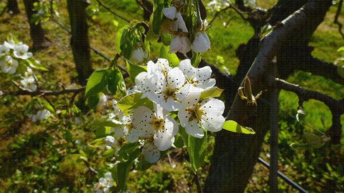 Verger de nashis Maroshui, floraison