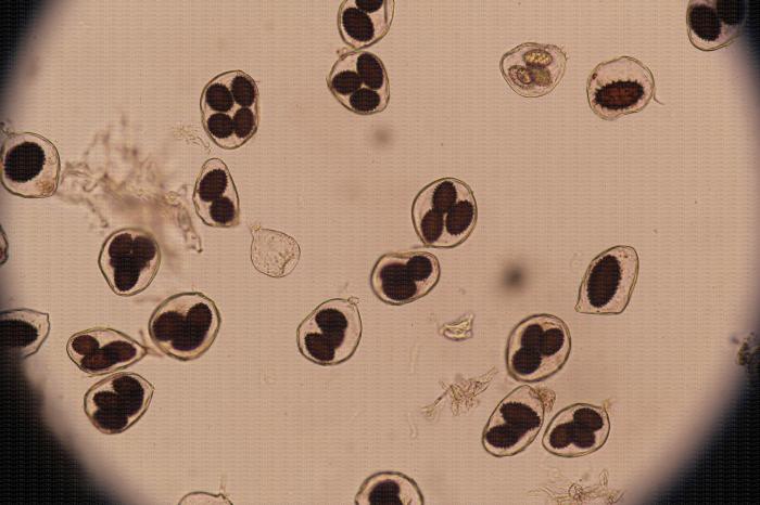 Truffe - Identification au microscope de spores de Tuber melanosporum