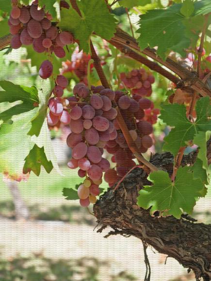 Benitaka, variété de raisin de table