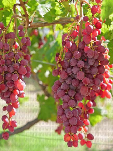 Fia, variété de raisin de table