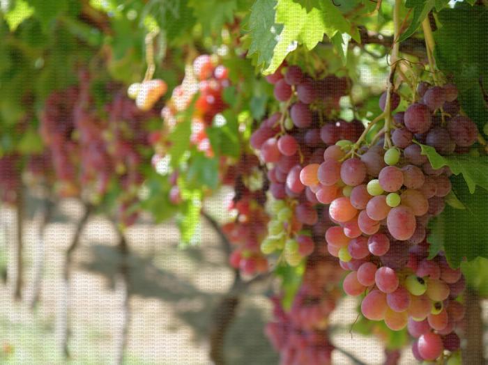 Italia Rubi, variété de raisin de table