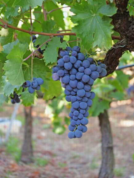 Muscat de Hambourg, variété de raisin de table
