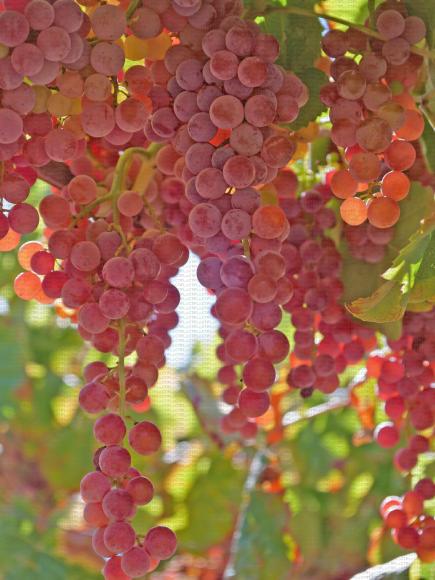 Suffolk Red, variété de raisin de table