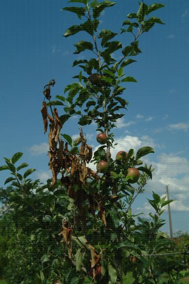 Feu bactérien sur sélection variétale pomme