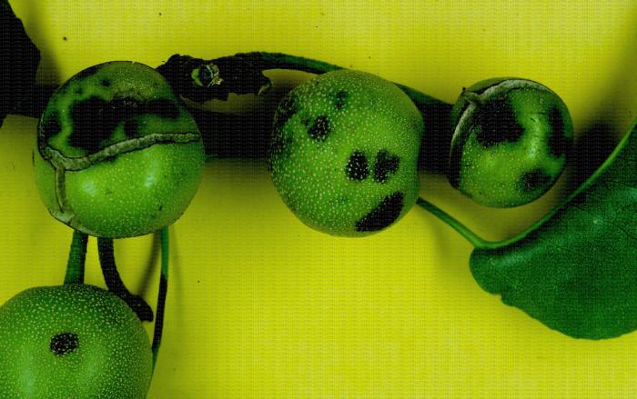 Tavelure sur nashi, parasite de quarantaine