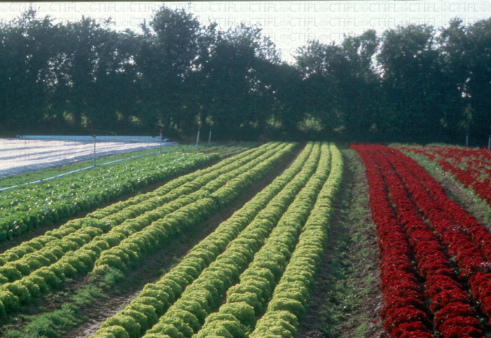 Production de salades en Basse Normandie