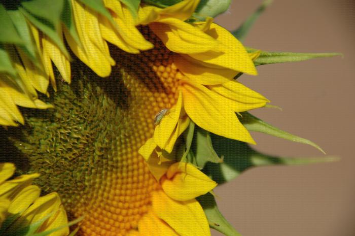 Lysgus sp. sur fleur de tournesol