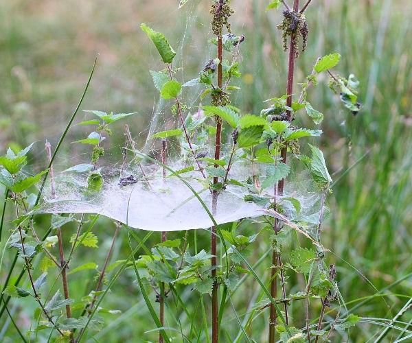 Toile d'araignée en nappe