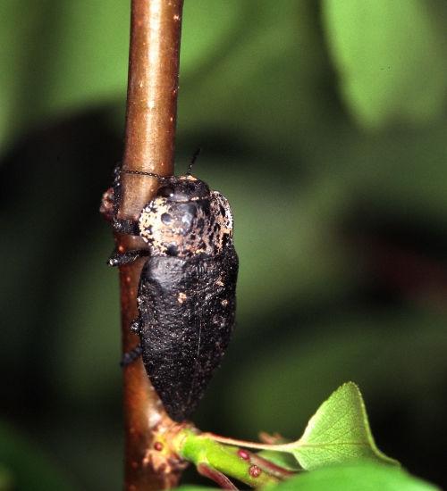 Capnode adulte sur abricotier